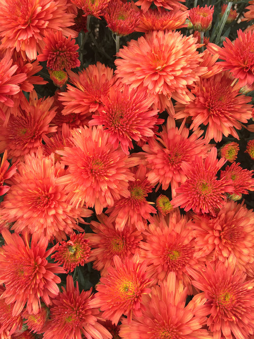 FALL GARDEN MUM 'MAKENNA ORANGE'