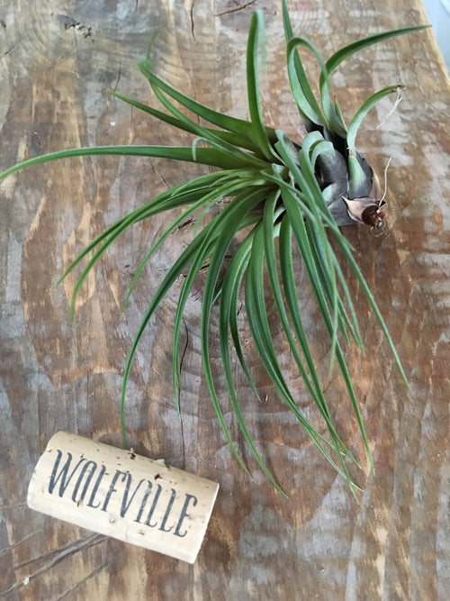 TILLANDSIA TRICOLOR MELANOCRATER MEDIA