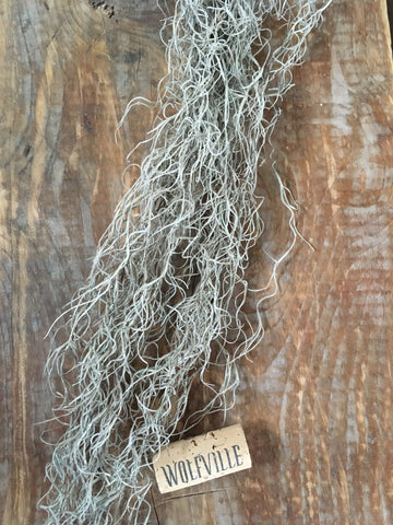 TILLANDSIA HARRISII