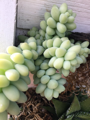 SEDUM CREEPING 'TURKISH DELIGHT'