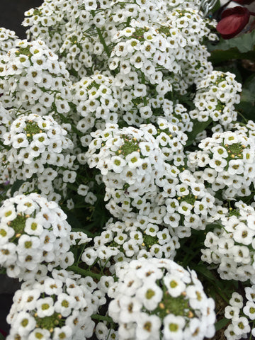 BACOPA 'DOUBLE SNOWBALL WHITE'