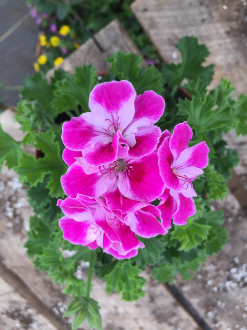GERANIUM REGAL (MARTHA WASHINGTON) 'PINKERBELL'