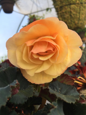 BEGONIA TUBEROUS ON TOP 'SUN GLOW'