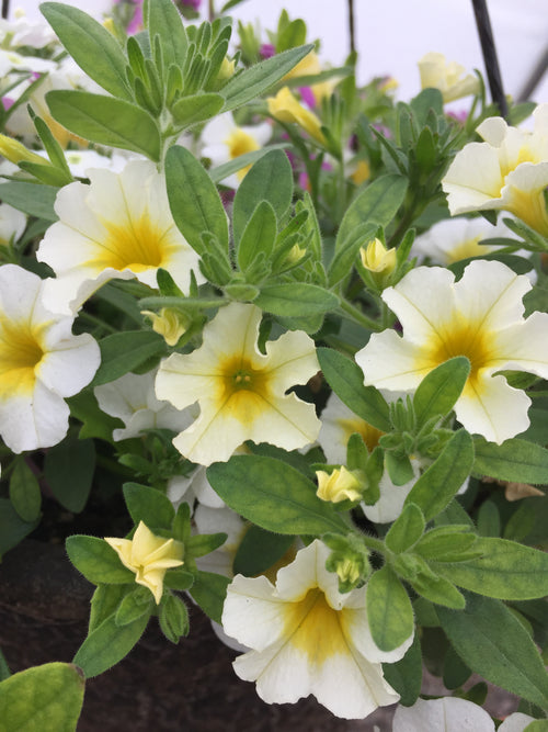 CALIBRACHOA 'BUTTER POP'