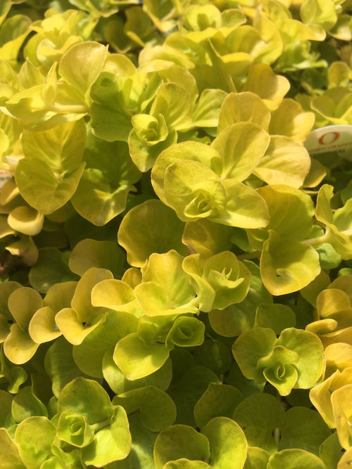 LYSMACHIA 'GOLDILOCKS'