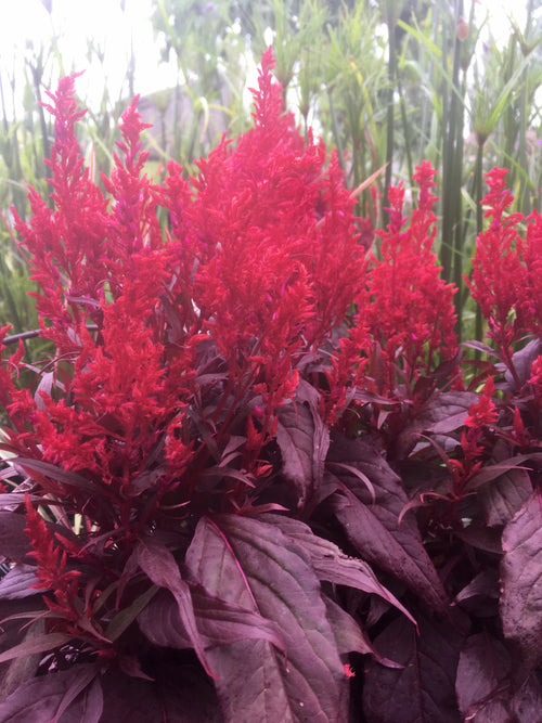 CELOSIA - DRAGON'S BREATH