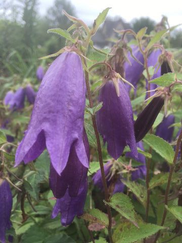 CAMPANULA POSCHARSKYANA BLUE WATERFALL