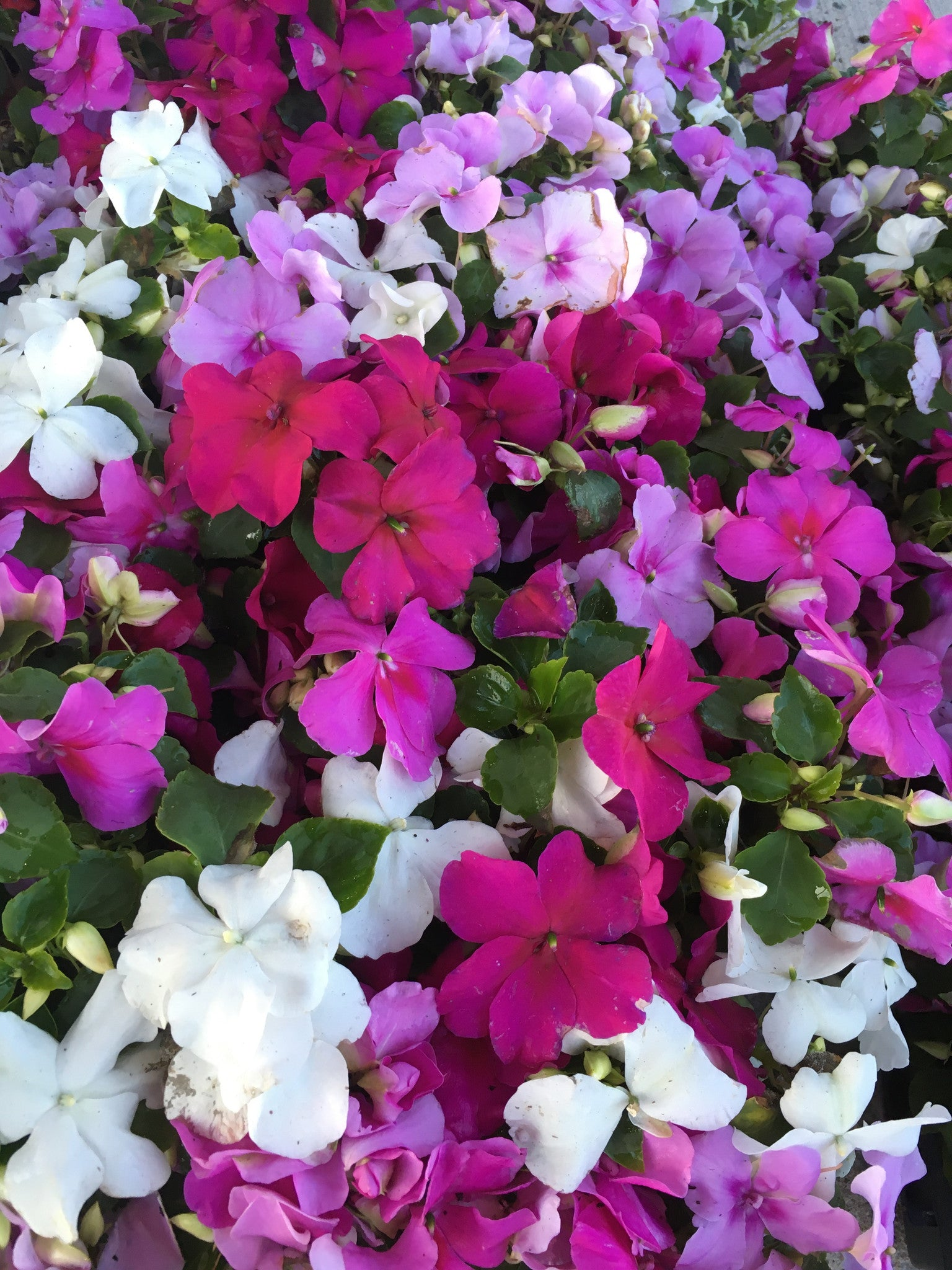 IMPATIENS SEASIDE MIX