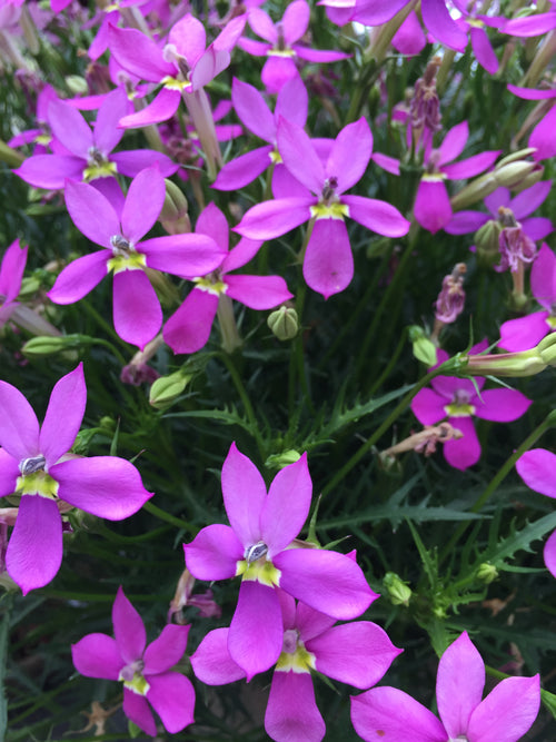 ISOTOMA FIZZ 'N POP 'PRETTY IN PINK'