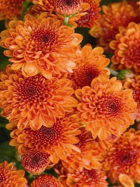 FALL GARDEN MUM KEELEY ORANGE