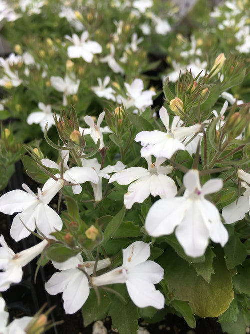 LOBELIA MAGADI 'BASKET WHITE'