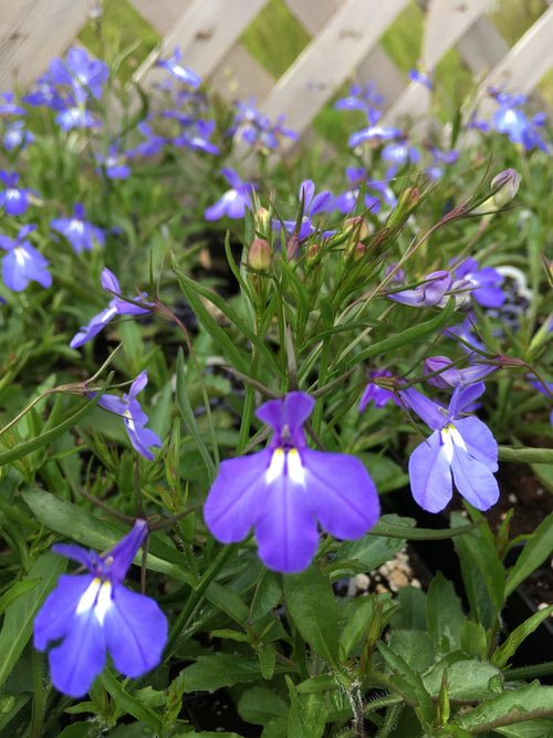 LOBELIA MAGADI 'ELECTRIC BLUE'