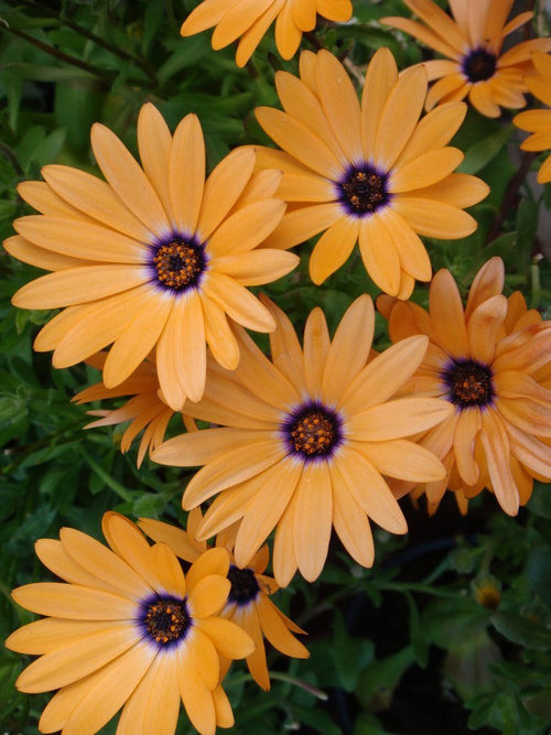 OSTEOSPERMUM SYMPHONY 'ORANGE'