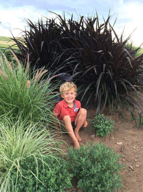 PENNISETUM (FOUNTAIN GRASS)  - FIRST KNIGHT
