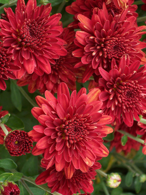 FALL GARDEN MUM PIZARRA RED