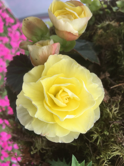 BEGONIA - SOLENIA YELLOW
