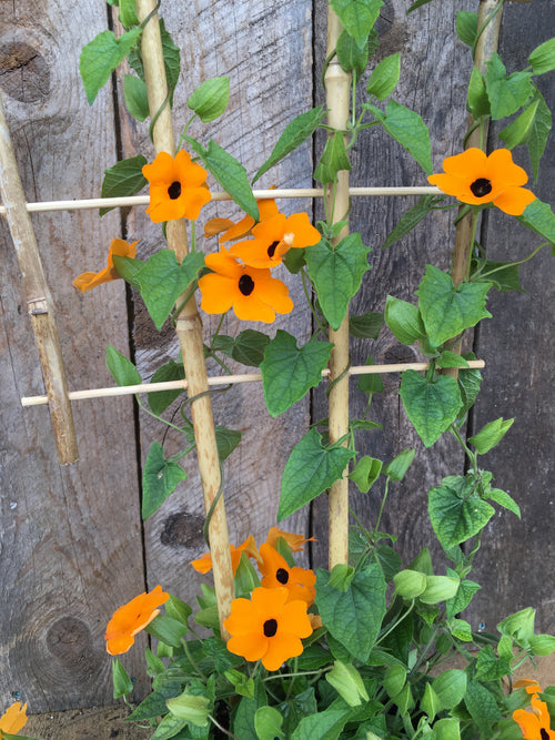 THUNBERGIA - (BLACK-EYED SUSAN VINE) NEW ORANGE