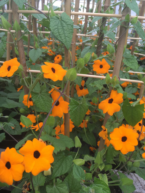 THUNBERGIA (BLACK-EYED SUSAN VINE) NEW ORANGE