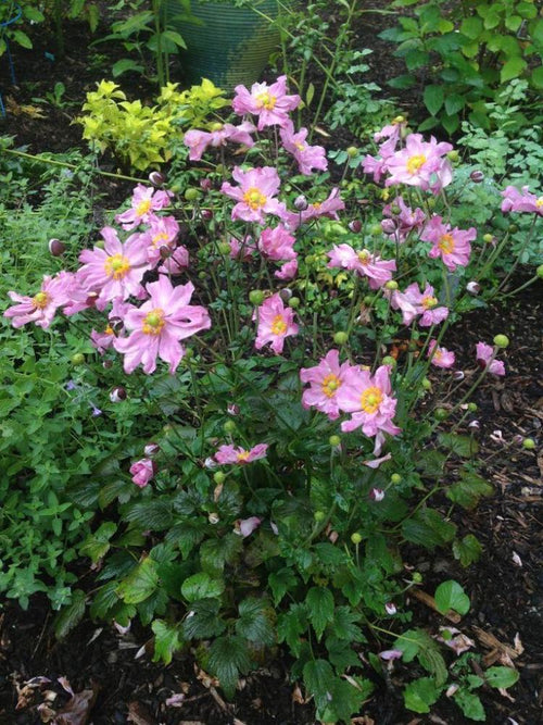 ANEMONE CURTAIN CALL 'PINK'
