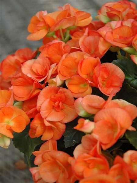 BEGONIA HIEMALIS 'ORANGE STONE'
