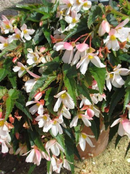 BEGONIA WATERFALL 'WHITE'