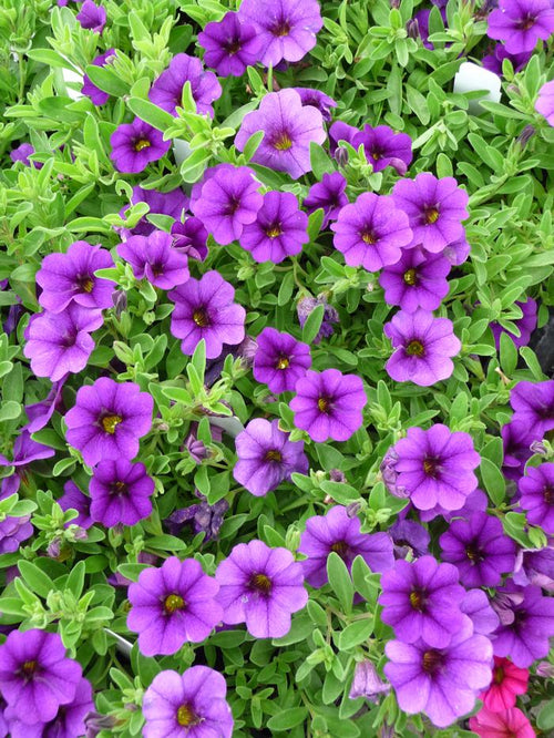 CALIBRACHOA 'MIDNIGHT'