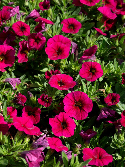 CALIBRACHOA 'PURPLE RAIN'