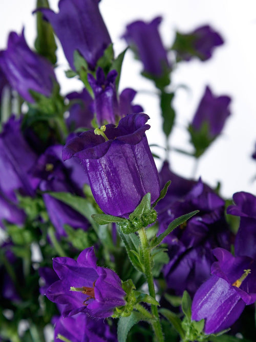 CAMPANULA CHAMPION 'DEEP BLUE'