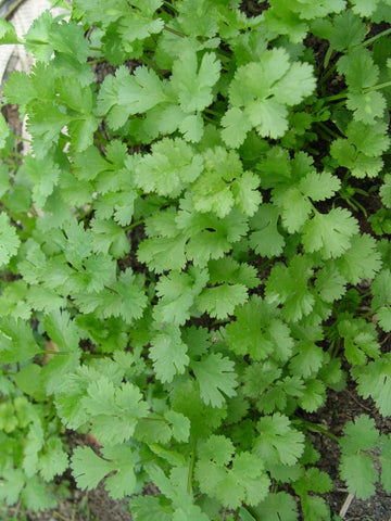 HERB-PARSLEY ITALIAN 'PETROSELINUM CRISPUM'