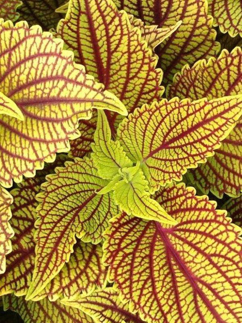 COLEUS 'GOLDEN DREAMS'