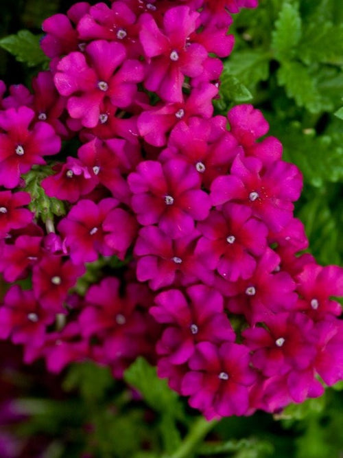 VERBENA 'DARK PURPLE'
