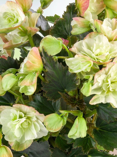BEGONIA FRIVOLA 'MAGIC'