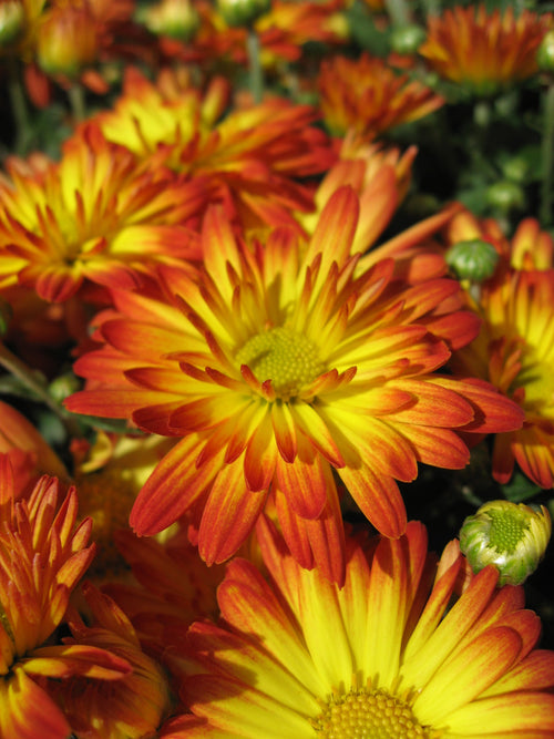 FALL GARDEN MUM DAZZLING STACY ORANGE