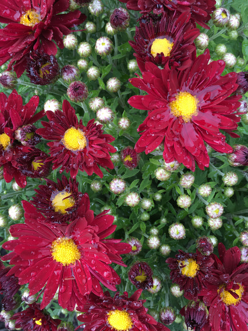 FALL GARDEN MUM EDANA RED