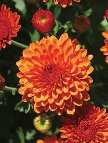 FALL GARDEN MUM 'EDANA RED'