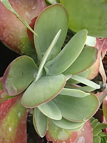 SUCCULENT CEROPEGIA WOODII 'STRING OF HEARTS'