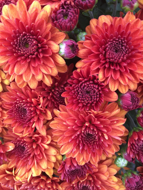 FALL GARDEN MUM MIORA ORANGE