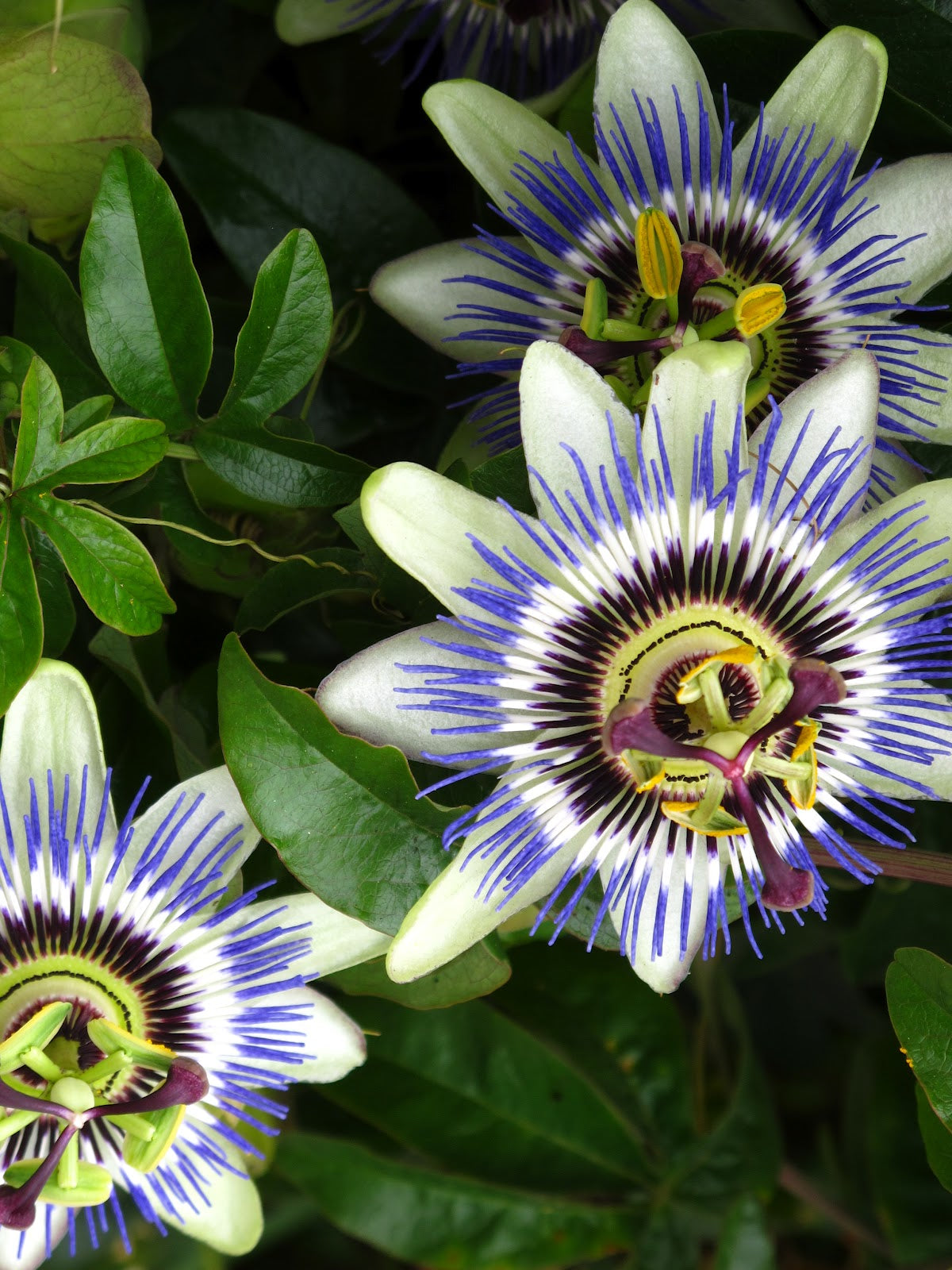 PASSIFLORA BAHAMA BLUE