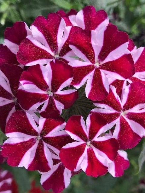 VERBENA EMPRESS FLAIR 'BURGUNDY'