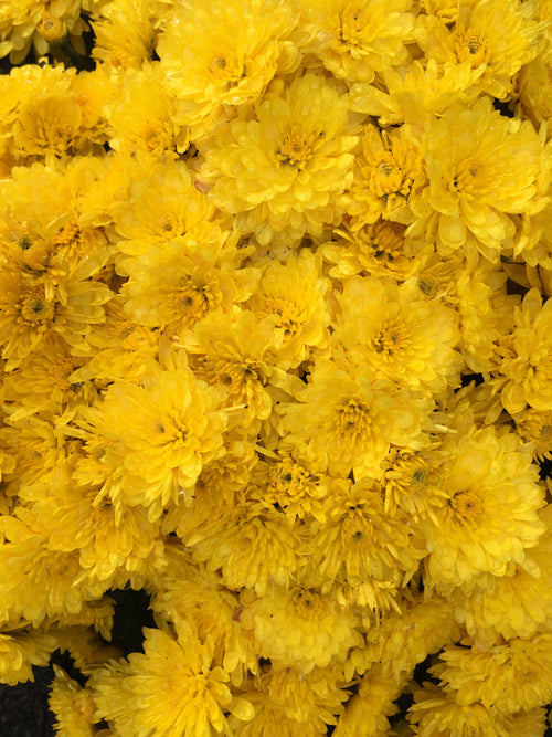 FALL GARDEN MUM YOLANDA YELLOW