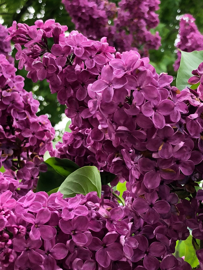 Easter In Asheville And The Scent of Lilac at Brookdale Senior Living