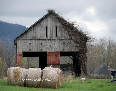 Barn, Happy Barn, Hadley, MA, 16x20 print