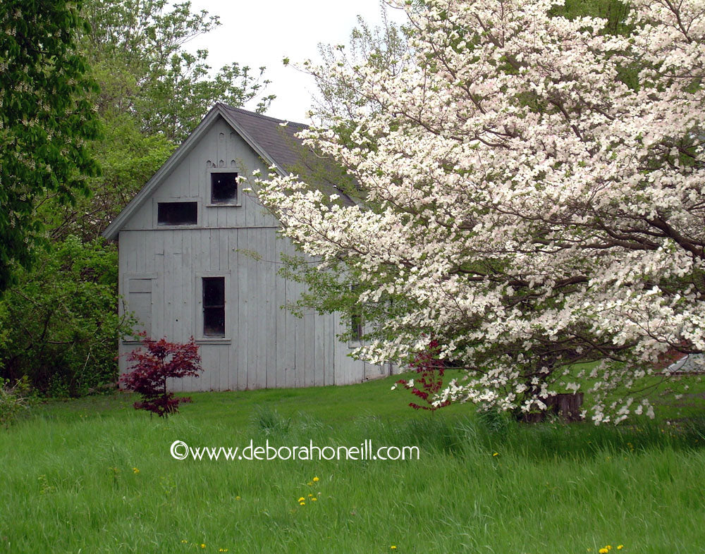 Barn, White Barn with White Flowers, 16x20 print