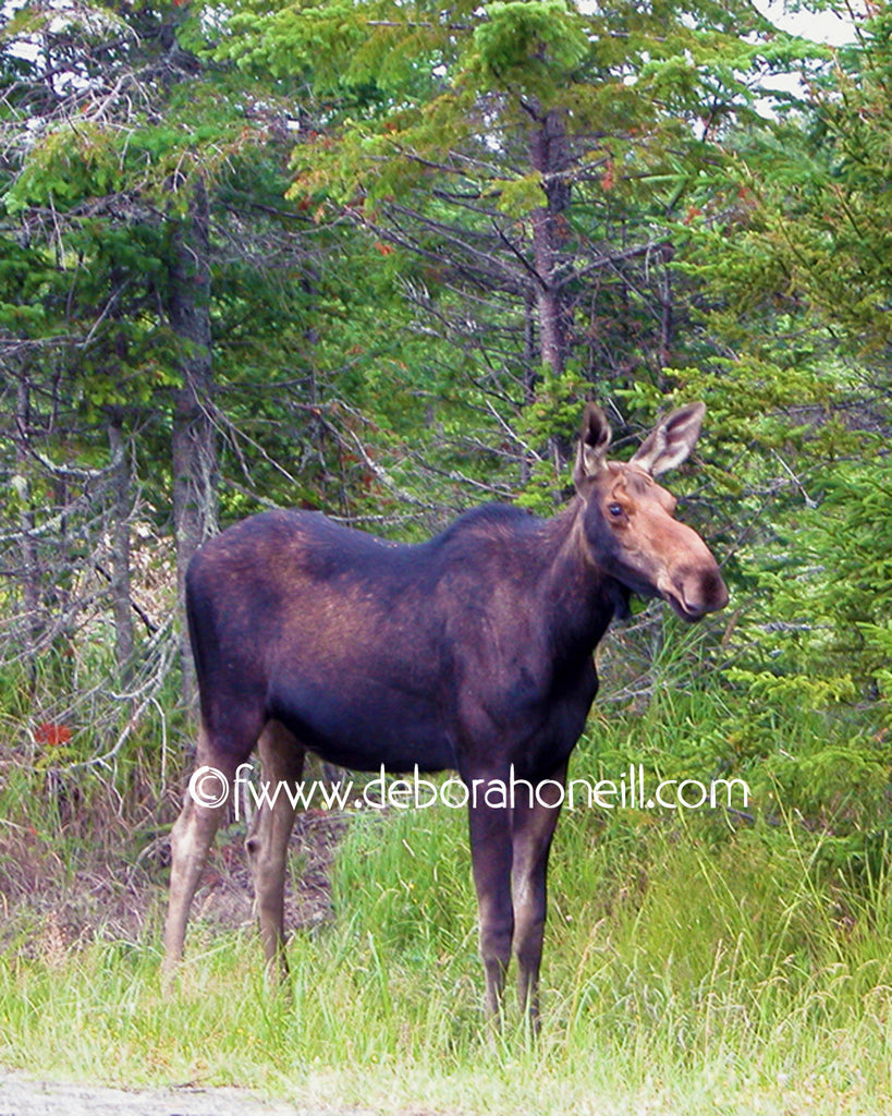 Wildlife, Moose, Moosehead Lake, ME, 16x20 print