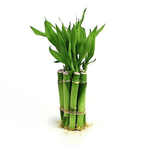 Lucky Bamboo - Lucky or Not?