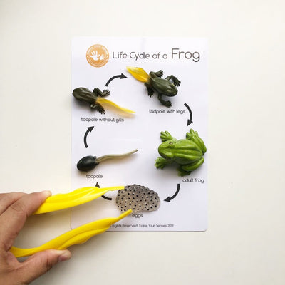 Tickle Your Senses - Frog Life Cycle Learning Kit