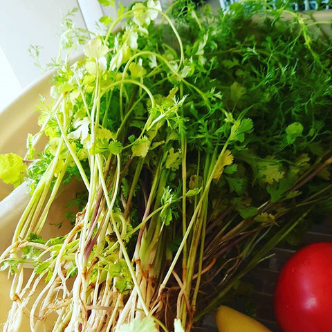 Fresh Organic Cilantro for Thai Food and Hot Sauce