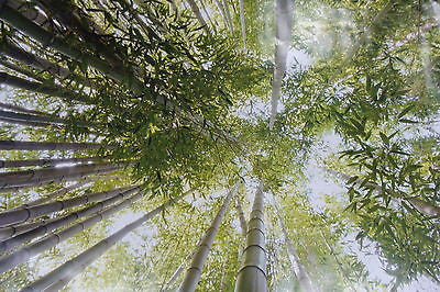Large Wall Poster Photo of Bamboo Forest Wallpaper Mural