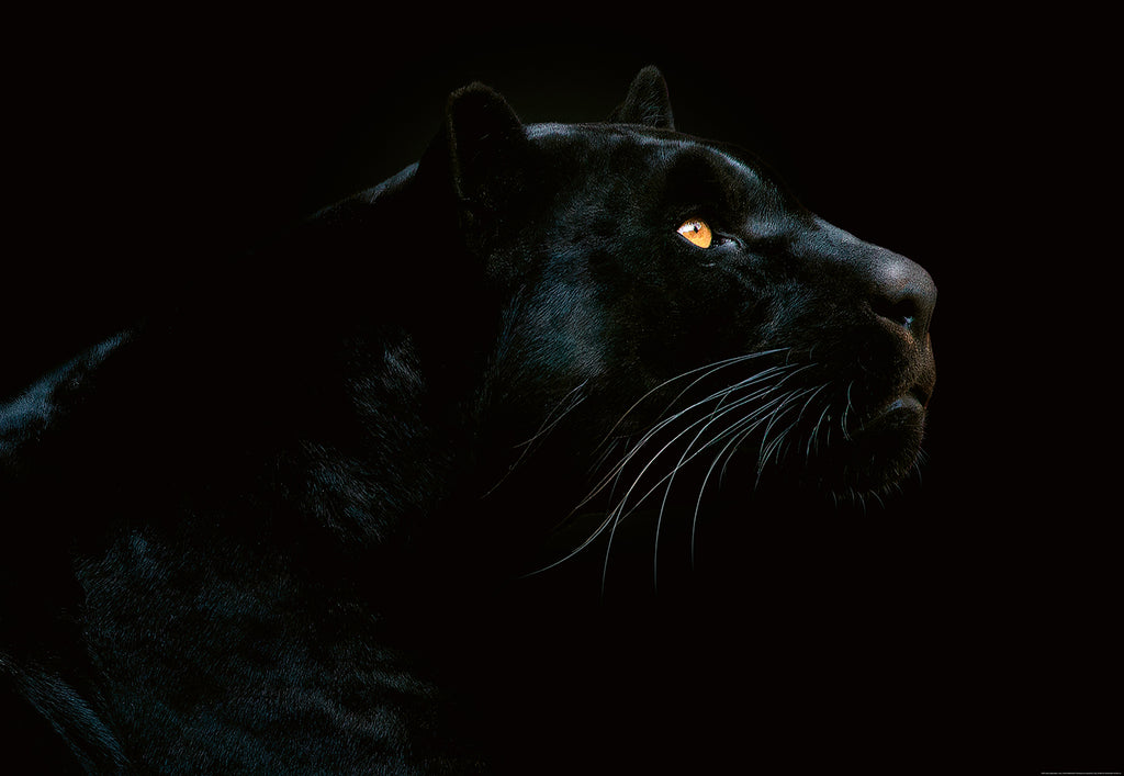 Jet Black Jaguar Wall Paper Wall Murals Melbourne Wallpaper Brokers
