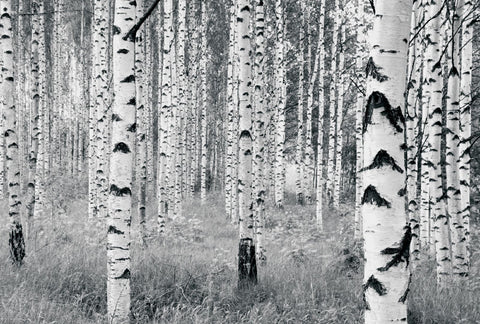 Birch Tree Forest Mural